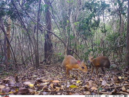 Mouse-Like Deer Just Photographed After It Vanished for 25 Years. Here's What You Need to Know