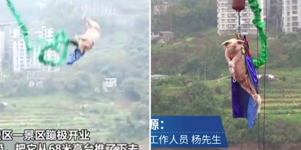 A Chinese theme park made a live pig bungee jump to try and attract visitors