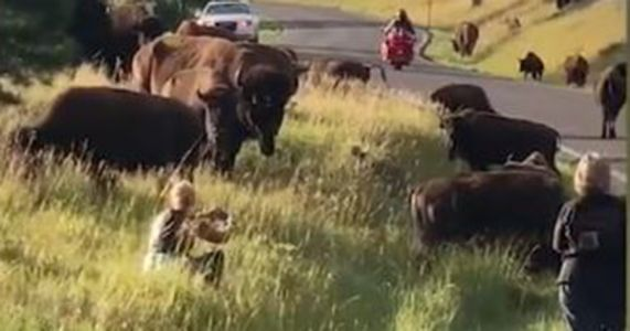 Bison rips woman's pants off at South Dakota state park in attack caught on video