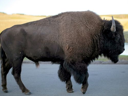 A bison stampede stopped traffic in Yellowstone, and one family filmed the horrible moment a bison plowed into their car