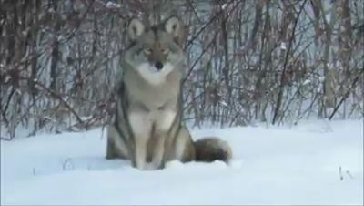 Footage of coyotes in southern New Hampshire