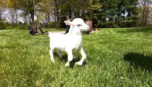 'He looked like a pretzel': Leo, a lamb born with deformed legs, is defying the odds