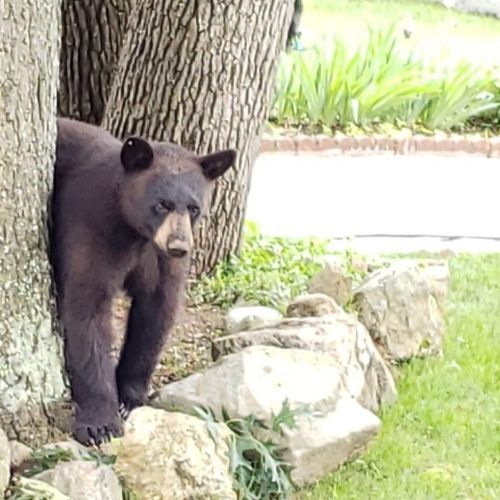 Multiple bear sightings reported in Manchester