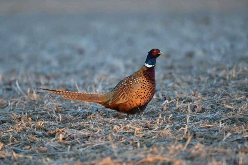 More than 14,000 ring-necked pheasants to be released at hunting areas across Ohio