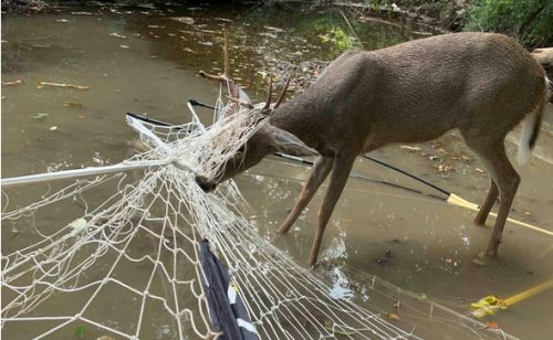 MDC agents rescue deer tangled in soccer net in Clay County