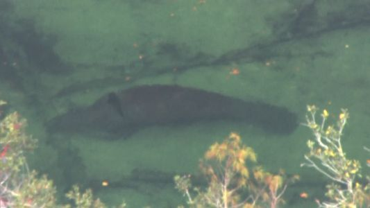 Crews work to rescue manatee entangled in bicycle tire at Blue Spring State Park