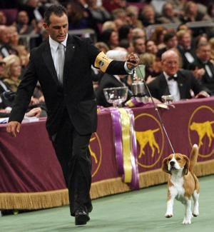 A dog's life: Uno, beagle who wowed Westminster, dies at 13