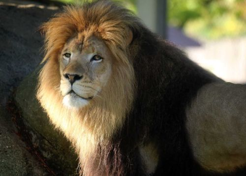 3 lions at Indiana zoo test positive for COVID-19 delta variant