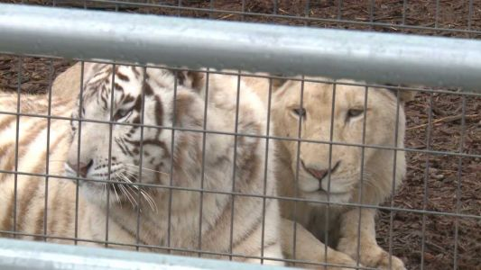Indiana judge orders temporary injunction against Wildlife in Need, deems cat cages unsafe