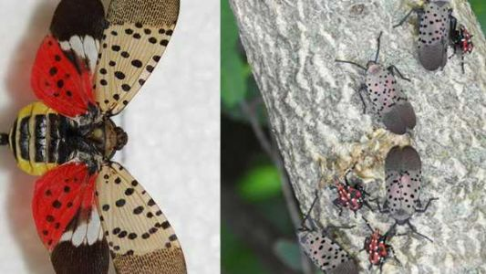 Invasive spotted lanternfly found along the Ohio River