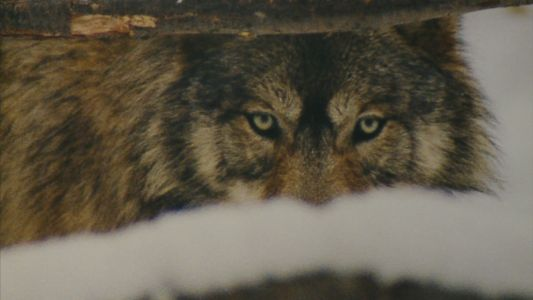 Study: Wolves Have Helped Reduce Deer-Auto Collisions By 24%