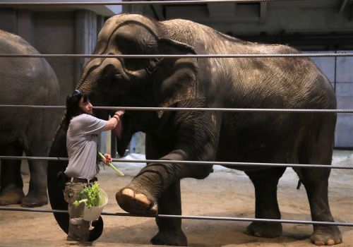 U.S., China face ban from buying wild African elephants for zoos