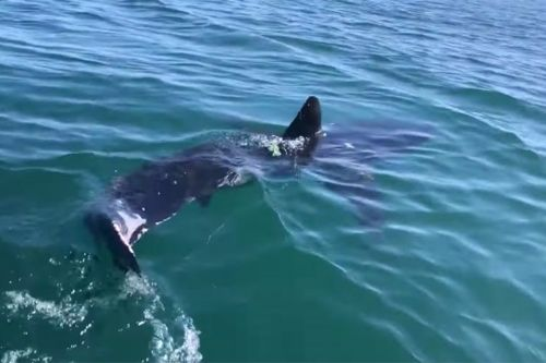 Fisherman frees great white shark from net in tense video