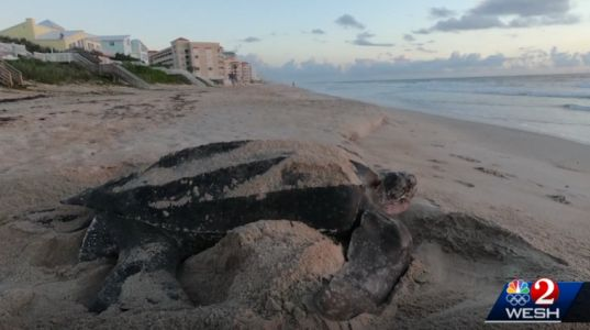 Sea turtles have already laid 780 nests on county beaches