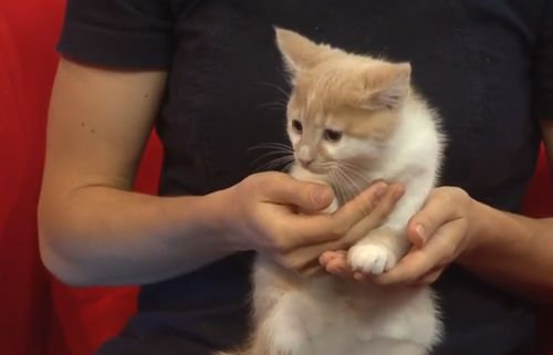 Cats looking to be adopted through SAAP