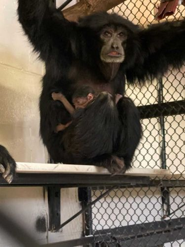 There's a new baby Siamang at the ABQ BioPark Zoo