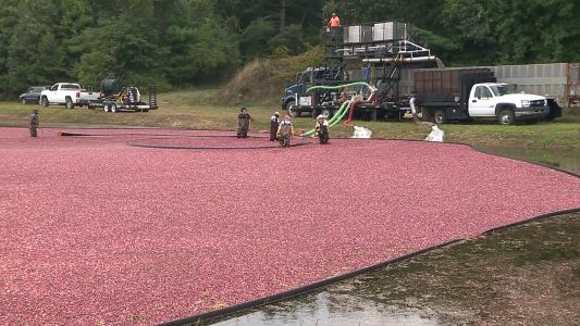 Drought conditions pose tough choices for Massachusetts cranberry growers
