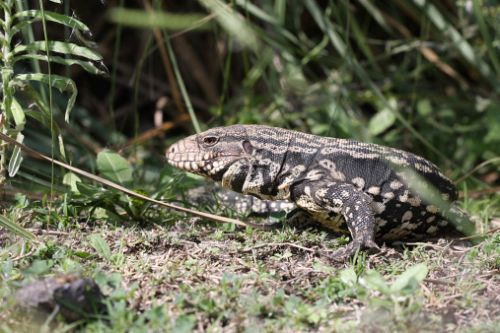 Dog-sized lizards spreading in southeastern US