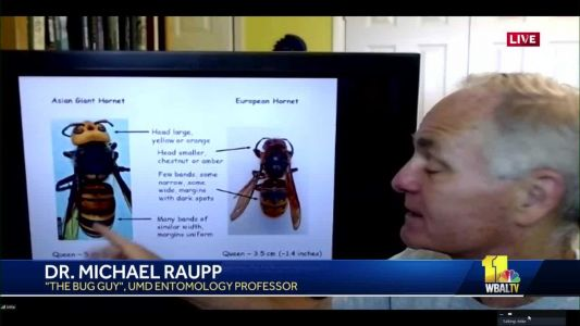 Are murder hornets really in Maryland?