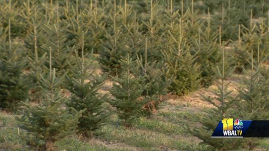 Christmas trees in high demand, cost this season