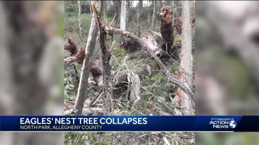 Eagles' nest tree collapses in North Park