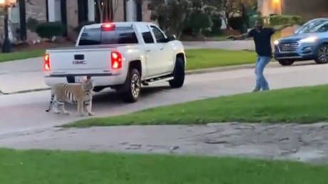 Texas man arrested after his BENGAL TIGER spotted roaming Houston neighborhood, big cat still on the loose