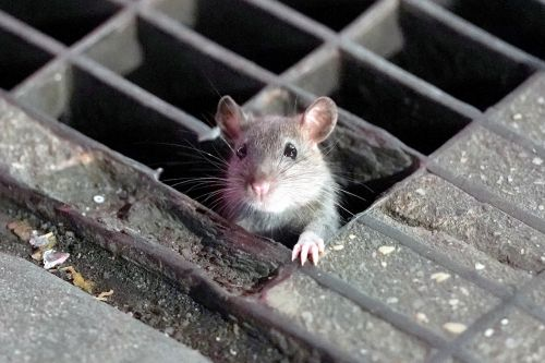 Oh rats! Here's where NYC ranks on list of 'America's Rattiest Cities'