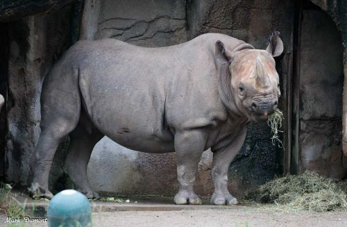 Cincinnati Zoo announces its eastern black rhino is pregnant and 'due any day'