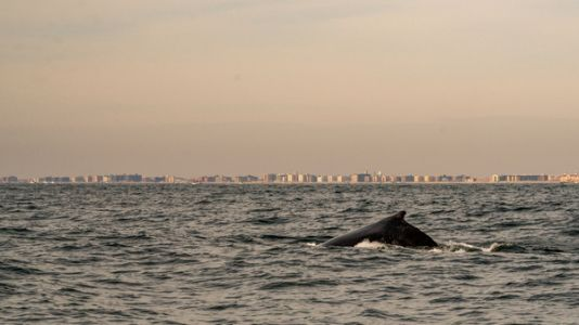 Offshore Wind May Help The Planet - But Will It Hurt Whales?