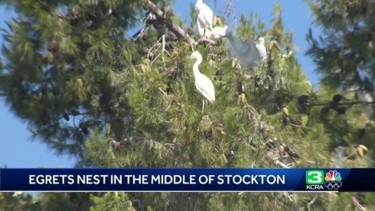 'I'm kind of awed': Egrets nests spotted in the middle of Stockton