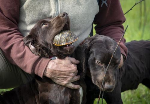 Illinois researchers working to save ornate box turtles