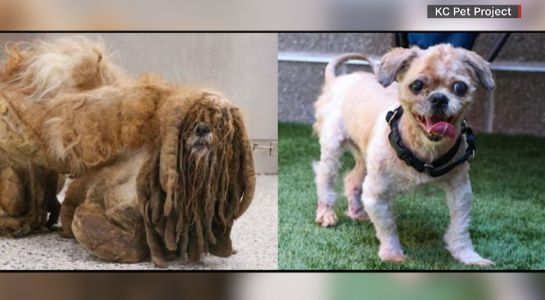 Stray dog's makeover removes pounds of hair, makes him an internet sensation