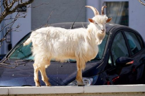 Opportunistic Goats Running the Show in This Town on Coronavirus Lockdown