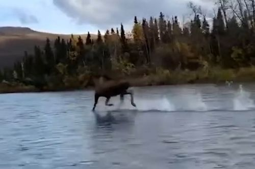 Moose 'running on water' is a miraculous sight