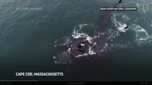 Two endangered whales appear to embrace