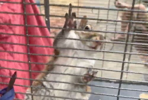 'Attack squirrel' found during drug bust kept in cage, reportedly fed meth