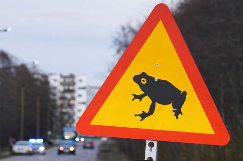 Estonian capital closes road so breeding frogs and toads can cross