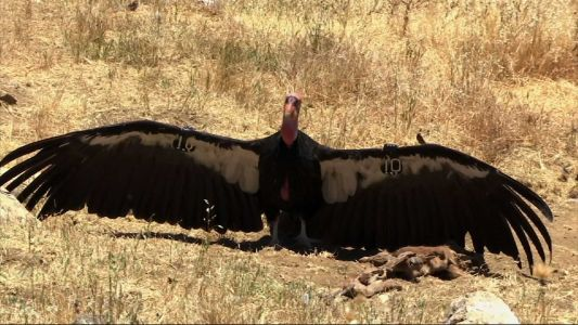 Flock of giant California condors trash woman's home