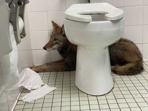 A coyote made its way inside this South Carolina elementary school restroom