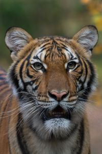 Coronavirus Update: New York's Bronx Zoo Says Tiger Tests Positive