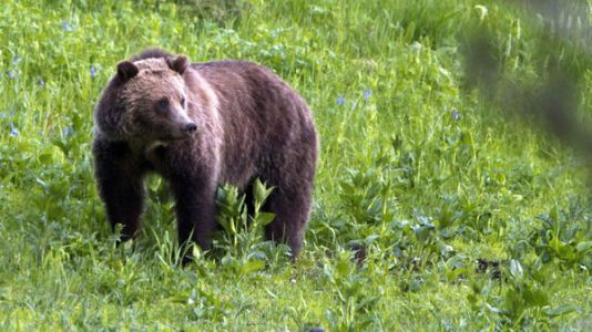 Judge Restores Grizzly Bears' Protections As Endangered Species