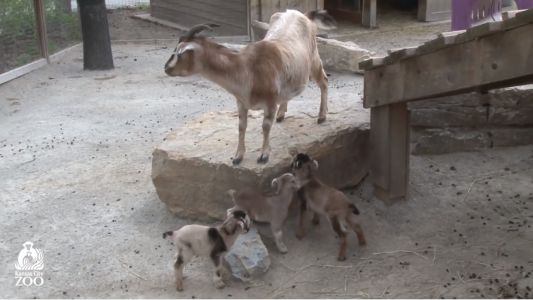 KC Zoo asking for help to name new baby goats, five born in one day