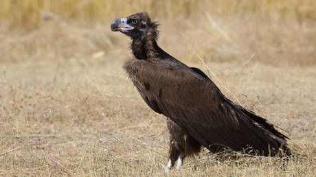 Dangerous livestock drug kills vulture from threatened species in Spain, sparking renewed calls for European ban on it