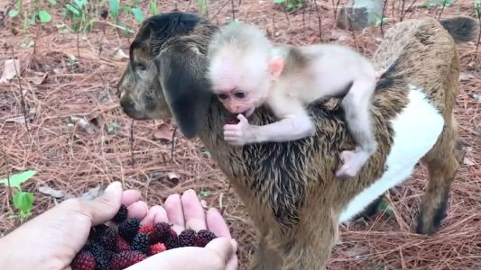 'Berry' cute: Baby monkey rides on goat's back for snacks