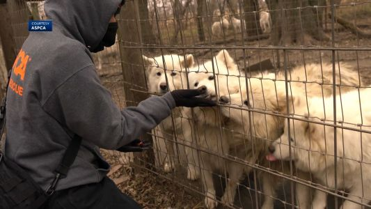 Local rescue steps up to help with puppy mill dogs, looking for foster homes