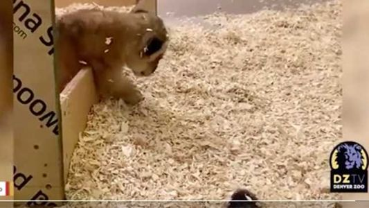 CUB CUTENESS: Video shows newborn hanging out with mother