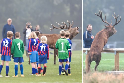 Massive sex-crazed deer turns kiddie soccer game into stag party