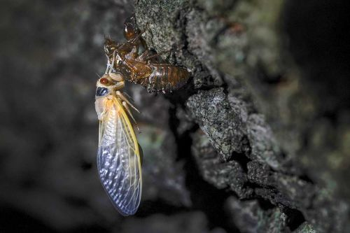 'One of the craziest life cycles on the planet': Trillions of cicadas about to emerge