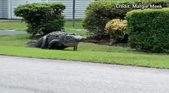'It was incredible': Video shows 10-foot gator spotted roaming South Carolina neighborhood