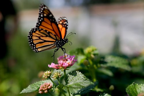 California's monarch butterflies remain critically low for second year